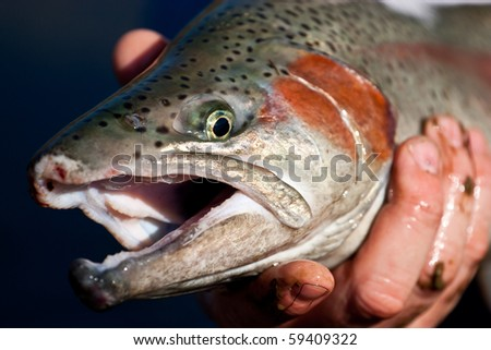 Rainbow trout(Oncorhynchus mykiss) cock fish in full breeding colour - stock photo