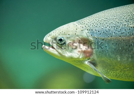 Rainbow trout or Salmon trout (Oncorhynchus mykiss) close-up in aquarium - stock photo