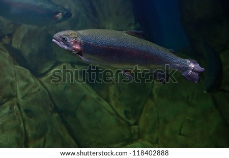 Rainbow trout or Salmon trout (Oncorhynchus mykiss) close-up underwater - stock photo