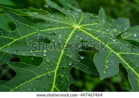 Raindrop on Green leaf of Papaya Plant bright background of nature. - stock photo