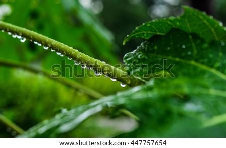Raindrop on Stalk and Green leaf of Papaya Plant bright background of nature. - stock photo