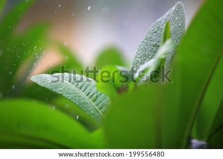 Raindrop splash on surface leaves in rainy day. - stock photo