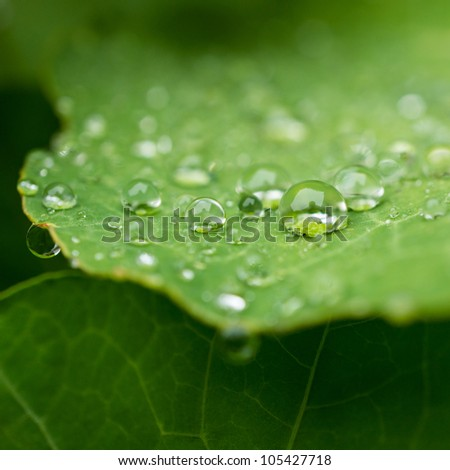 Raindrops balanced on a green nasturtium leaf. - stock photo