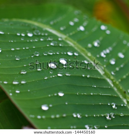 Raindrops on a banana palm leave - stock photo