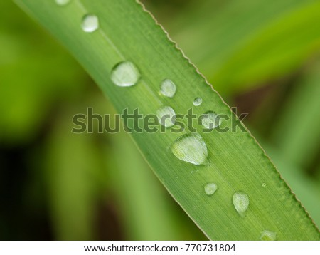 Raindrops on a longblade of grass in a Thai rice field