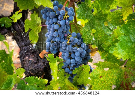 Raindrops on Cabernet Sauvignon grapes and leaves in California vineyard. Rain on ripe, red Napa Valley grapevines in wine country. - stock photo
