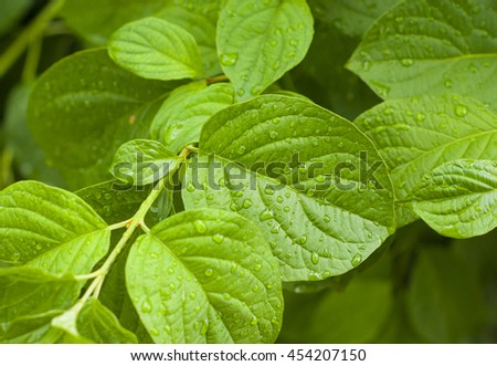 Raindrops on leaves. - Stock image.