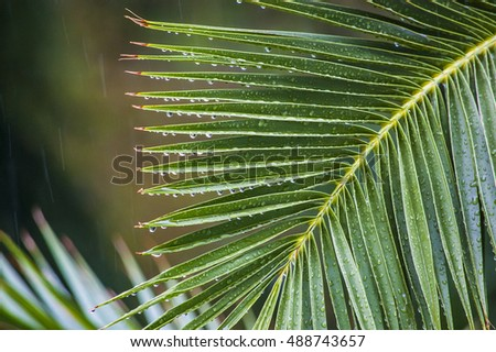 Raindrops on the branch of palm trees under a tropical downpour