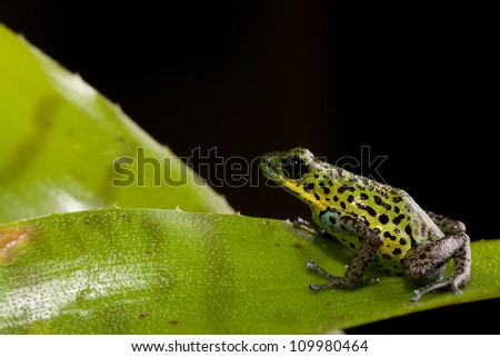 rainforest animal poison dart frog of tropical rain forest jungle in Panama