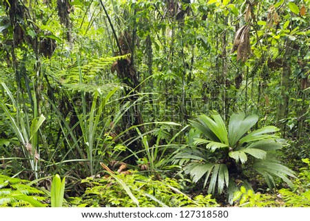 Rainforest glade with a Geonoma palm and giant sedge in foreground, Ecuador - stock photo