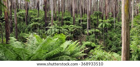 Rainforest panorama.  Mountain ash with tree ferns, Yarra Ranges National Park, Victoria, Australia. - stock photo