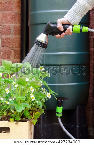 rainwater tank or water butt, woman using a hose connected to a rain collector to water strawberry plants in pot. - stock photo