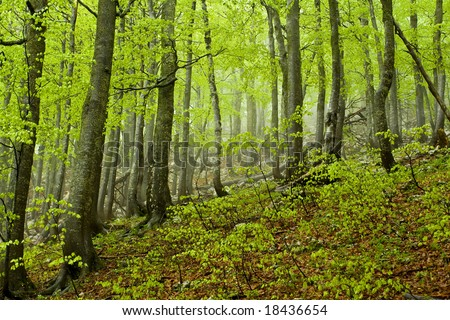 Rainy spring forest, Velebit, Croatia - stock photo