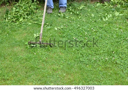 Raking a garden lawn after hedge trimming