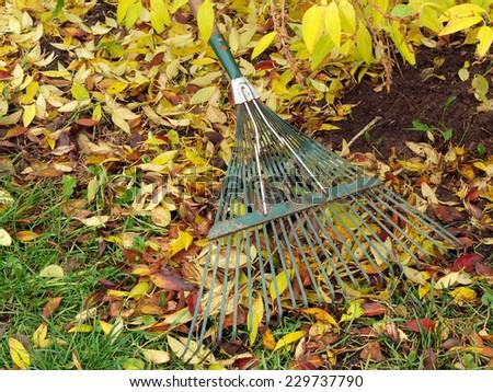 Raking fallen leaves with green metal rake         - stock photo