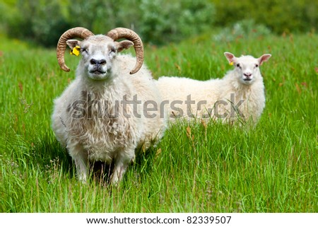 ram family portrait - stock photo