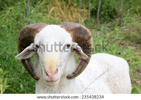 Ram head features, closeup of photo - stock photo