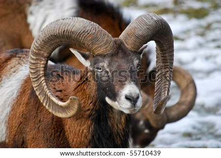 Ram male sheep with curled horns