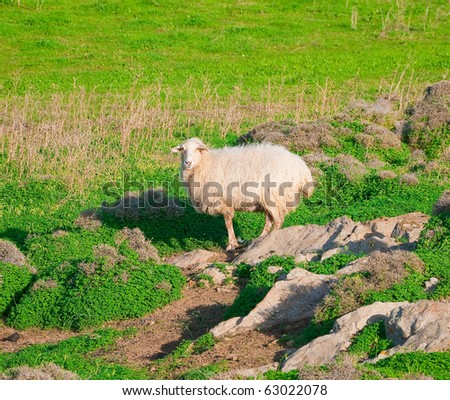 ram on a rock in the middle of green meadows