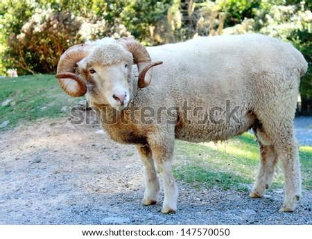 Ram (Ovis aries) - stock photo