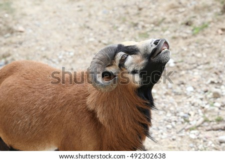 ram with big curved horns while smiling with white teeth