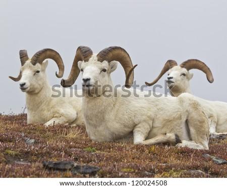 Rams Club - three rams just hanging out and enjoying the view at Savage River, Denali National Park, Alaska - stock photo