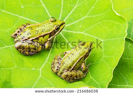 rana esculenta - common european green frogs on a dewy leaf - stock photo