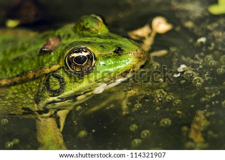 Rana pool frog, Pelophylax lessonae, waiting for pray