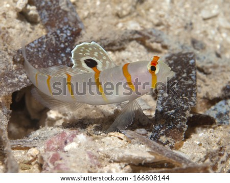 Randall's prawn-goby in Bohol sea, Phlippines Islands - stock photo