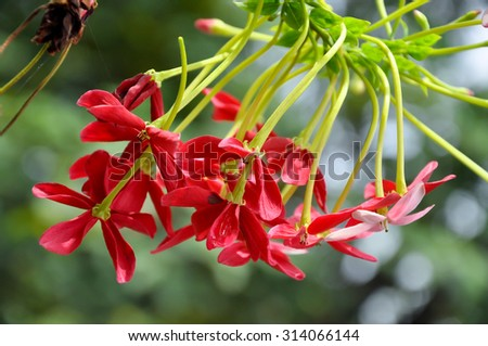 Rangoon creeper vine with red flowers and fragrant, which is found in Asia.