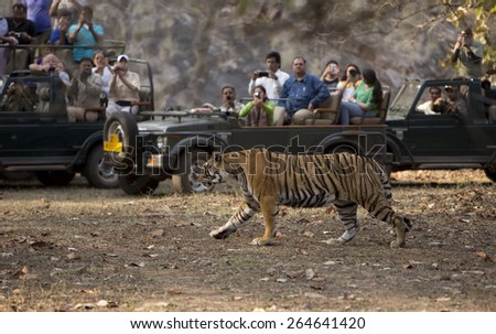 RANTHAMBORE, INDIA, MARCH 11 2015. The Indian Government's tiger protection schemes have caused the wild tiger population to doubled in the past few years - stock photo