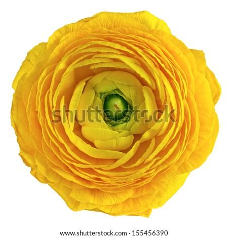 Ranunculus asiaticus - stock photo