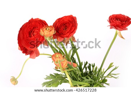 Ranunculus flowers isolated on white background - stock photo