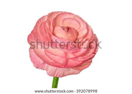 Ranunculus isolated on white background  - stock photo