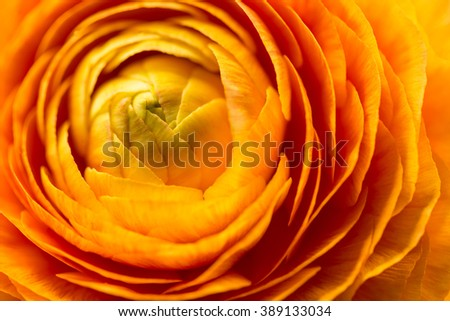Ranunculus, macro, close-up.  - stock photo