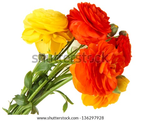 Ranunculus (persian buttercups), isolated on white