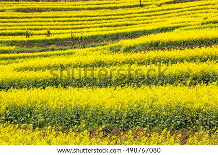 rape blossoms in luoping