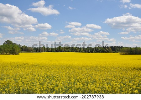 Rape field and blue sky with clouds - stock photo