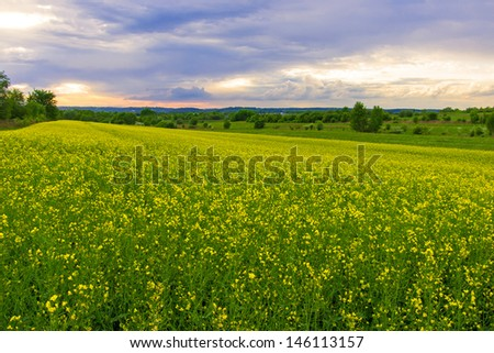 Rape field and sunset -summer landscape