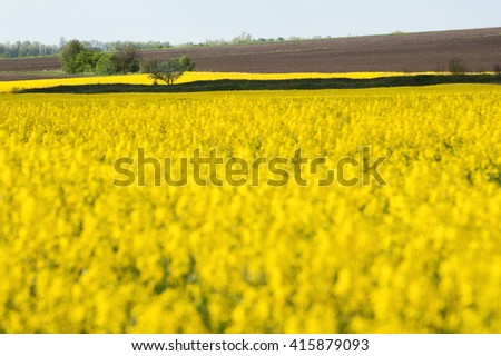 Rape field in blossom at the sunny day. Brown plowed field at the background.