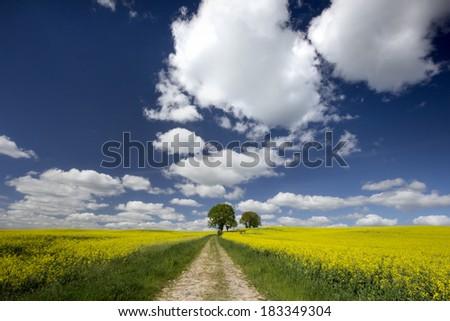 Rape field in northeastern Pomerania , Poland. / Rape field  - stock photo