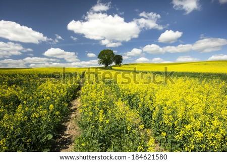 Rape field in northeastern Pomerania , Poland./ Rape field. - stock photo