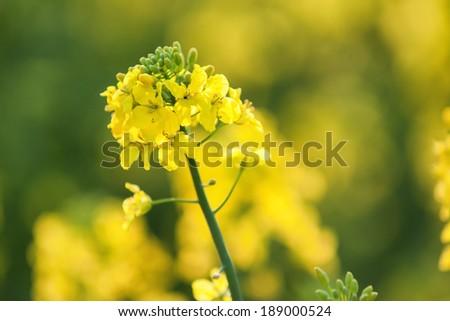 rape flower in spring  - stock photo