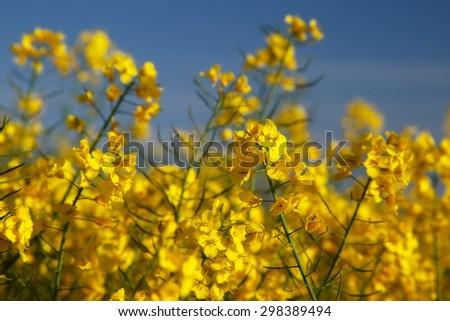 Rape flowers - stock photo