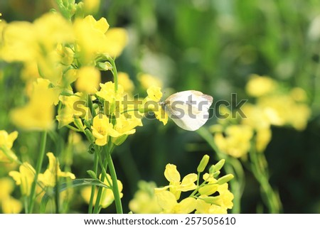 Rape flowers and butterfly,many beautiful yellow flowers blooming in the countryside with a butterfly - stock photo