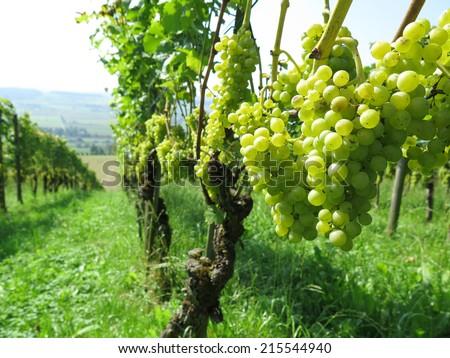 Rape grapes in a vineyard - stock photo