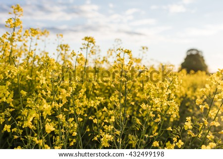Rape seed flowers in field in summer with blue sky and clouds. Blooming canola flowers close up. Bright Yellow rapeseed oil. Flowering rapeseed. - stock photo