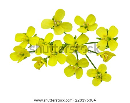 Rapeseed blossom isolated on white background - stock photo