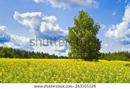 Rapeseed blossoms - stock photo
