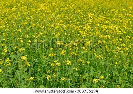 Rapeseed (Brassica napus), known as rape, oilseed rape, rapa, rappi, rapaseed, (and, in case of one particular group of cultivars, canola), is bright-yellow flowering member of family Brassicaceae - stock photo
